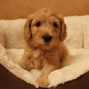 Australian labradoodle puppies available in black and cream in McMinnville Oregon.