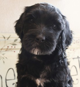 Black labradoodle puppies in Seattle and Washington and Oregon, standard size.