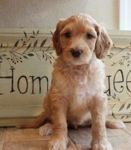 Australian labradoodle puppies Portland and Seattle and Vancouver Washington and Oregon.