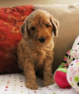 Labradoodles available puppies now Seattle Salem Oregon