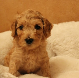 Labradoodles in Seattle Washington and California, cream and black.