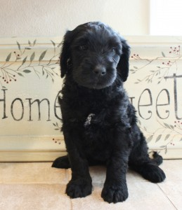 Labradoodle puppies in Oregon and McMinnville and Salem.