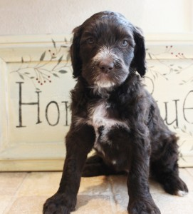 Chocolate and black and cream labradoodle puppies, standard size.