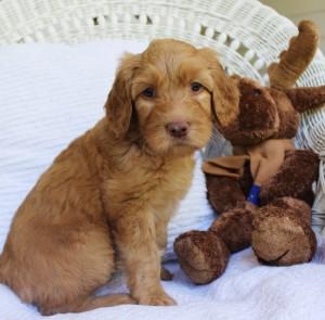 Labradoodle puppies, multi-gen, Salem Oregon, breeder.