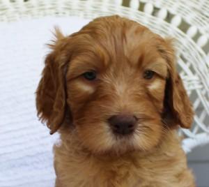 Australian Labradoodle puppies breeder in Washington and Idaho and California.