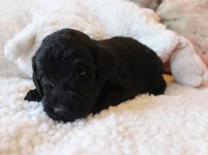Labradoodle puppies available Portland Oregon black Seattle
