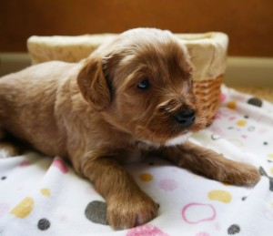 Labadoodle puppies in Oregon, small breeder has standard puppies available.
