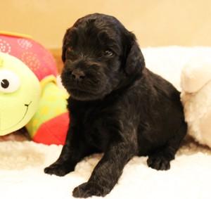Australian labradoodle puppies black Salt Lake City now