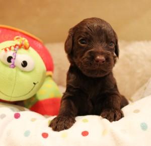 Oregon Seattle Utah labradoodle puppies black