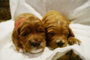 Small breeder in Oregon has labradoodle puppies available.
