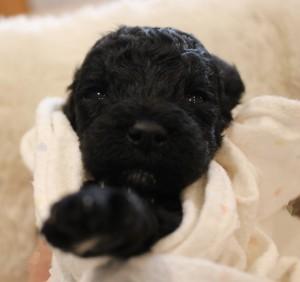 Labradoodle puppies black Oregon breeder Utah Seattle.