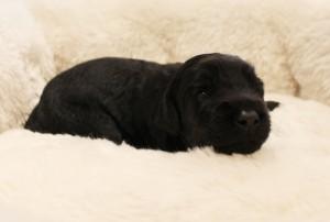 Australian Labradoodle puppies Portland Oregon breeder black standard
