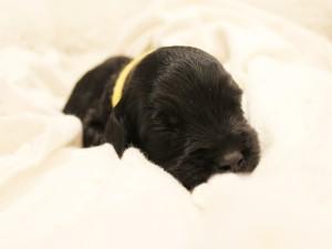 Black standard labradoodle puppies Oregon Seattle