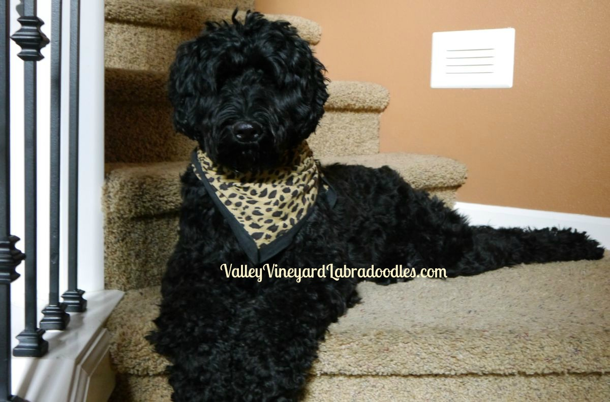 Standard Australian Labradoodle puppies in Oregon and Washington in cream, black and chocolate.