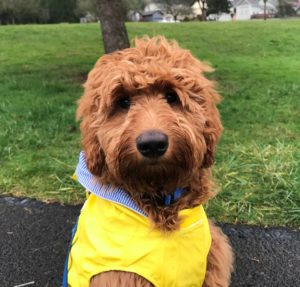 Labradoodle puppies available now Oregon