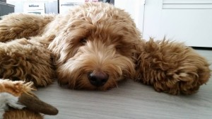 Labradoodle puppies available in Oregon, now, Washington as well.