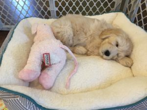 Australian Labradoodle puppies available now Oregon Salem Portland Seattle