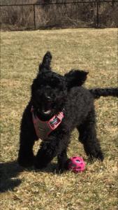 Black labradoodle puppies Oregon breeder