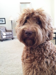 Standard labradoodle puppies in black or red in Oregon.