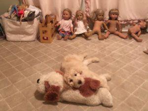 Australian Labradoodle puppies Oregon standard