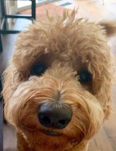 best labradoodle breeder Oregon puppies