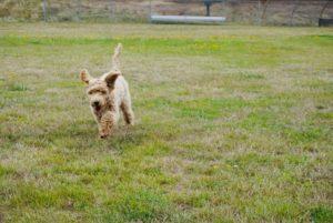 standard labradoodles puppies now Oregon Seattle Vancouver Olympia Salem Portland