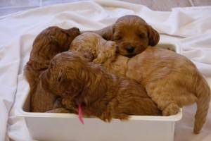 Australian Labradodle puppies in Oregon, Washington and Idaho.