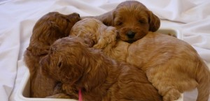 Standard Australian Labradoodle puppies like this one available soon in Oregon.