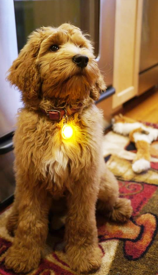 Labradoodle puppy pricing and more - Valley Vineyard