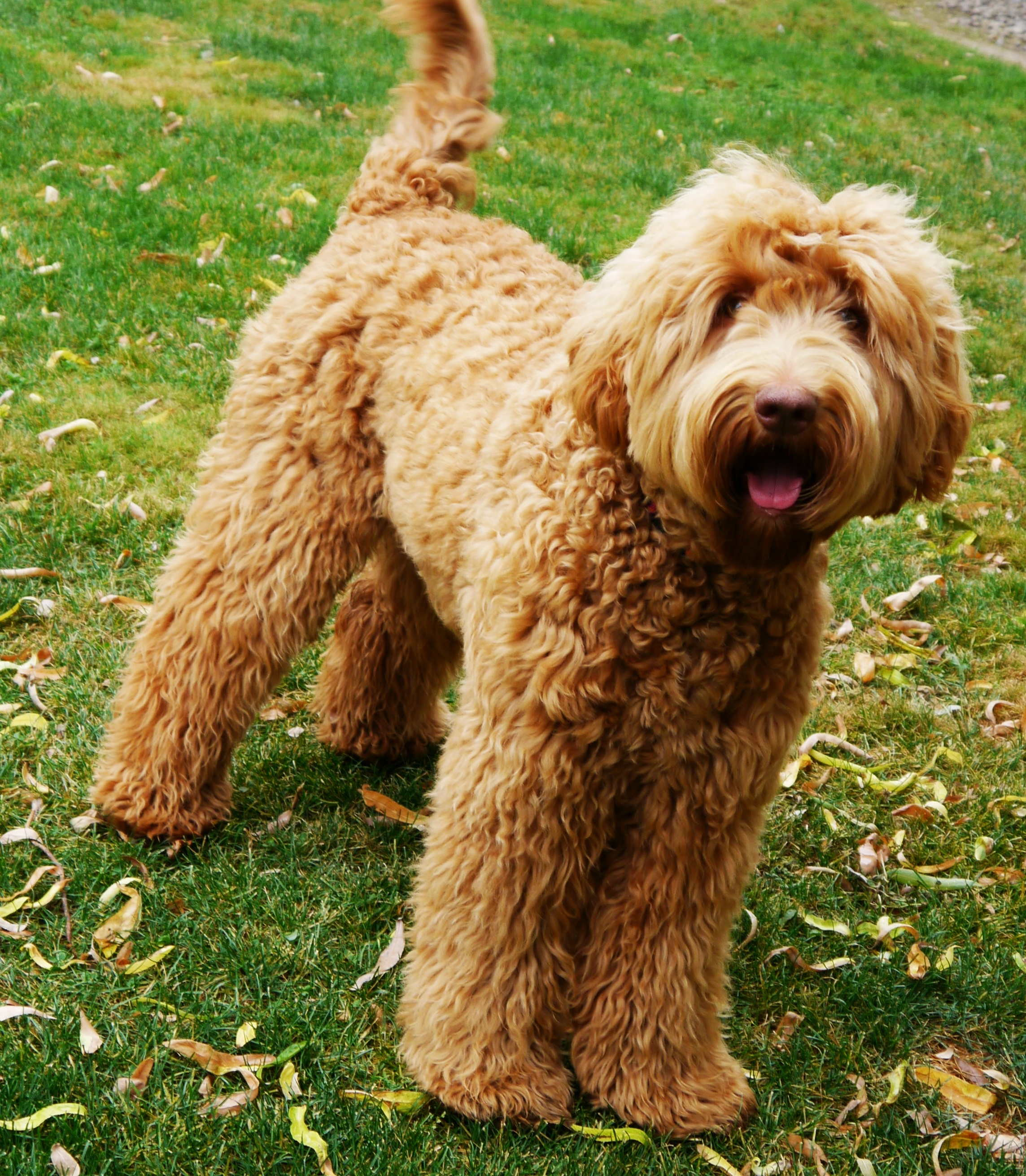 Vancouver and Portland and Seattle labradoodle puppies in chocolate and cream.