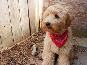 Oregon breeder of mini and standard labradoodle puppies available in Washington and Idaho and California too.