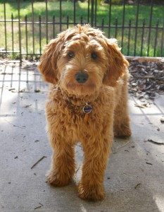 Oregon labradoodle puppies available, red mini puppies available.