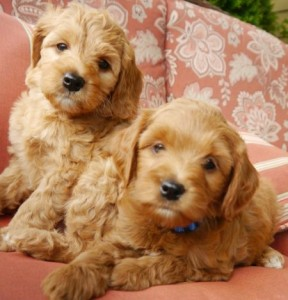 Labradoodle, standard, puppies, Oregon, Washington, mini, black, chocolate, cream, red Australian breeder pups