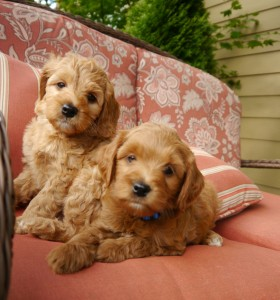 Bodee and Bronco on chair 7 wks