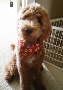 Oregon standard caramel labradoodle puppies available in black and chocolate and red too.