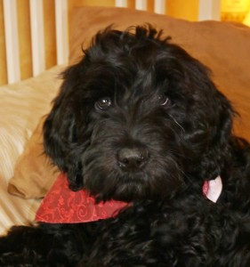 Black standard Australian Labradoodle puppy in Oregon.