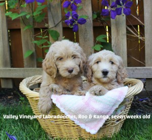 Labradoodle puppies with great temperaments in Oregon.
