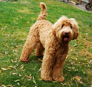 Standard labradoodle puppies in Oregon, Washington, California.