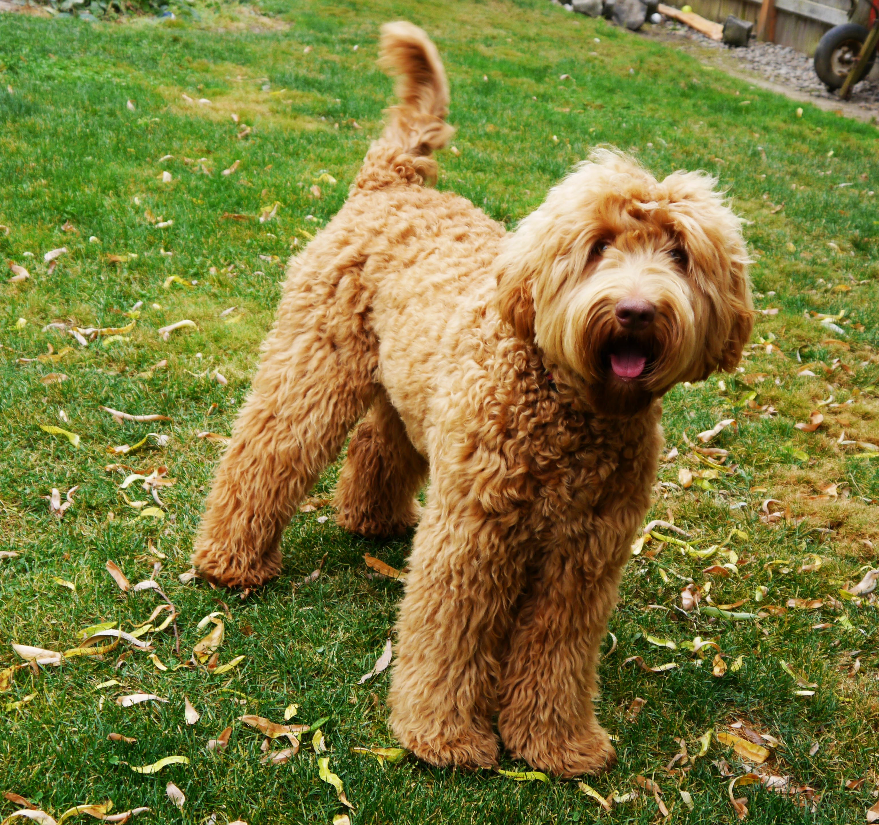 Australian Labradoodles Coat Care And Maintenance Valley
