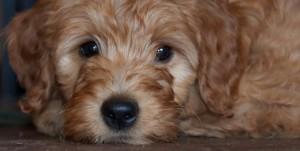 Labradoodle mini Oregon puppies, breeder near California and Idaho, standard puppies available.