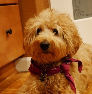 Red and apricot labradoodle puppies in Oregon