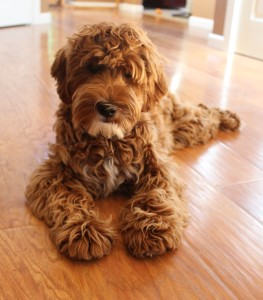 Australian Labradoodle puppies available, Oregon and Washington breeder.