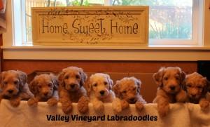 Oregon and Washington labadoodle standard puppies in Portland and Salem.