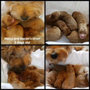 Australian labradoodle puppies available in Oregon, small family breeder.