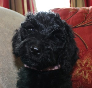 Black and chocolate labradoodle puppies in Oregon are available in Washington too.