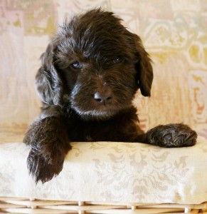 Labradoodle puppies available in Washington and Oregon.