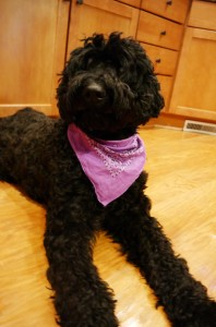 Oregon standard labradoodle, puppies available.