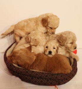 Australian Labradoodle puppies Puppy Culture