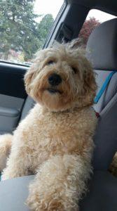Labradoodle puppies available now Portland Salem Vancouver Seattle