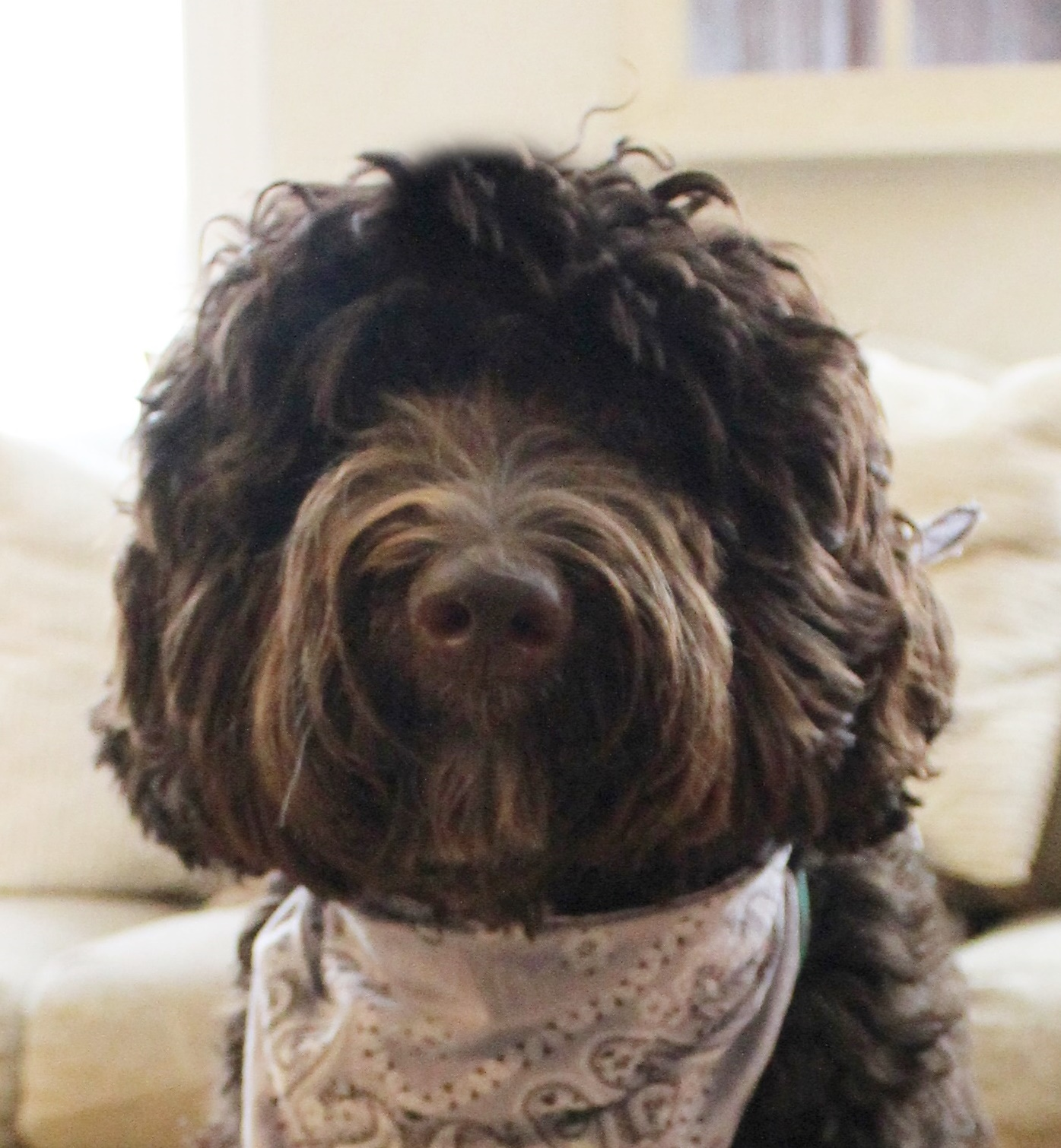 Lizzy, our largest and chocolatiest Doodle!